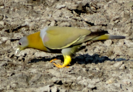 Yellow footed Green Pigeon; Hollong