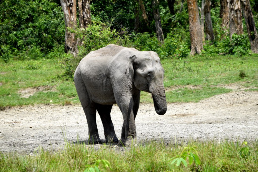 A lone tusker : Memories of Hollong