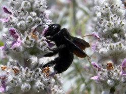 How to Get Rid of Carpenter Bees - Defeat them Today!