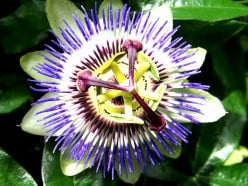 Passionflower tea can help with insomnia.