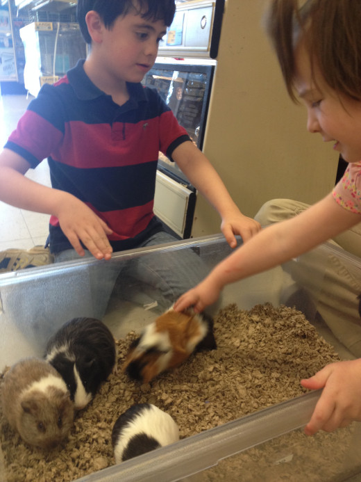 Guinea pigs and baby guinea pigs can be kind and fun when they are treated with great care.