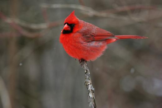Northern Cardinal (Cardinalis cardinalis) or Redbird
