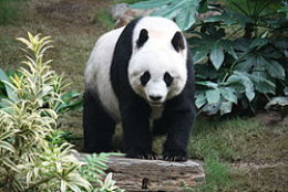 Mei Xiang - female giant panda
