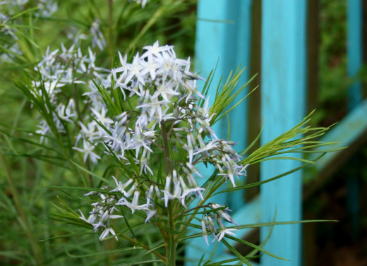 Like its leaves, Amsonia's flowers have a feathery appearance. In full sun, they may fade to light blue or white.