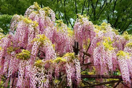 Hobeni wisteria