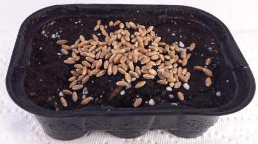 Cat grass seeds on moistened soil