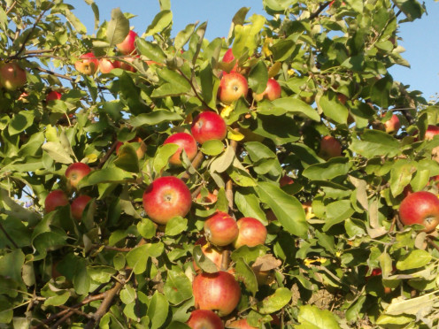 Apple Seeds Contain Vitamin B17, Too