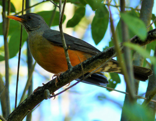 Olive Thrush - a frequent visitor