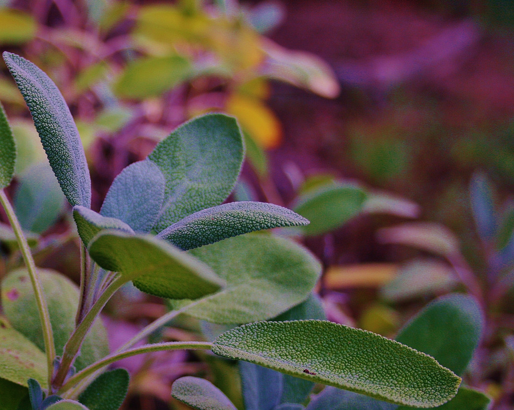 Growing The Right Sage For Your Garden Hubpages