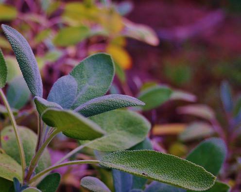 Salvia officinalis, a.k.a. garden sage