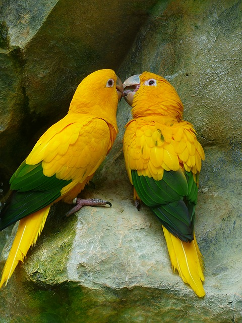 Golden parakeets are gorgeous birds with a lovely bright yellow color.