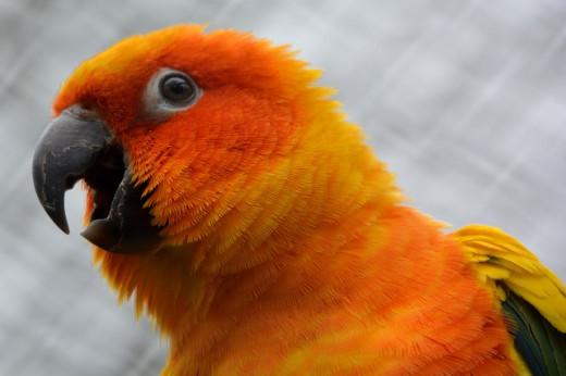 Sun Conures are beautiful orange birds.