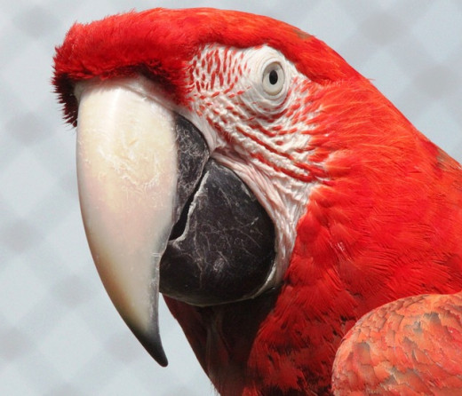 Macaws are loyal and charming parrots.
