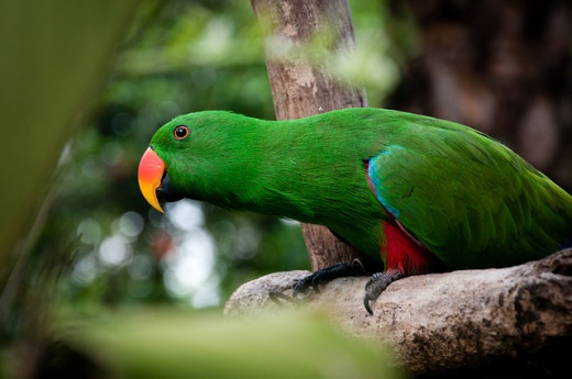 Male Eclectus Parrots are very intelligent and smart-looking parrots.