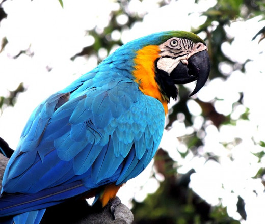 Blue and Gold Macaws are very playful, blue macaws.