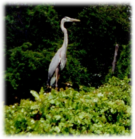 A stoic watcher in the marsh...