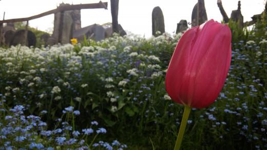 Tulip G3