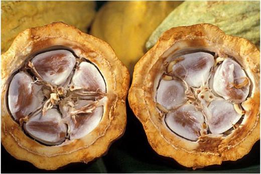 Cacao tree seeds