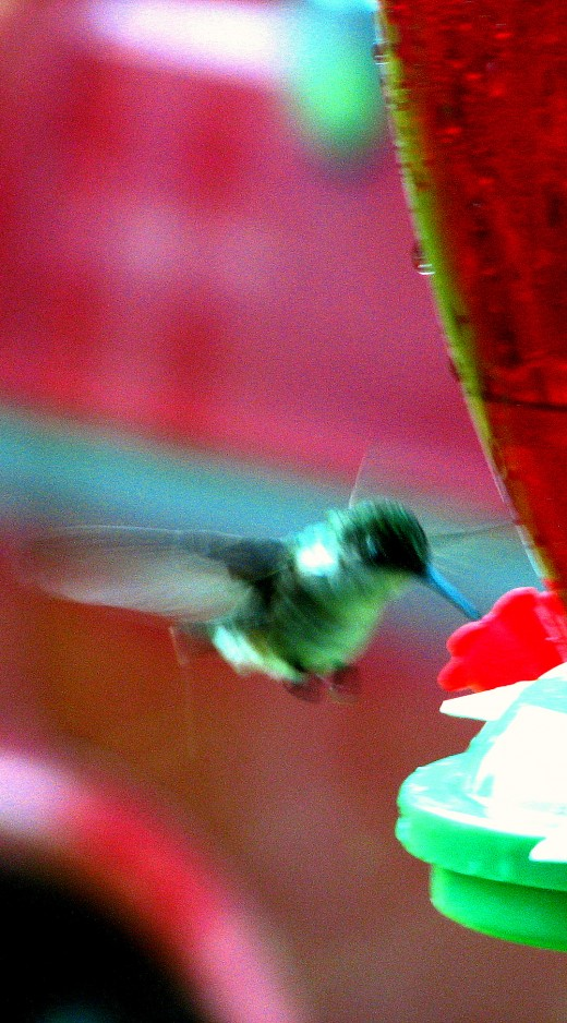 Hummingbirds are very mindful in there surroundings and seem to recognize you watching them as quick as you realize they are present. They are not hurried to land until they check it out very carefully, hovering is always called for before landing to