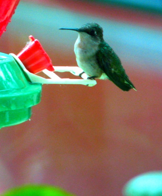 when they do land the hummingbird is almost always sure to glance around real fast to make sure the coast is clear