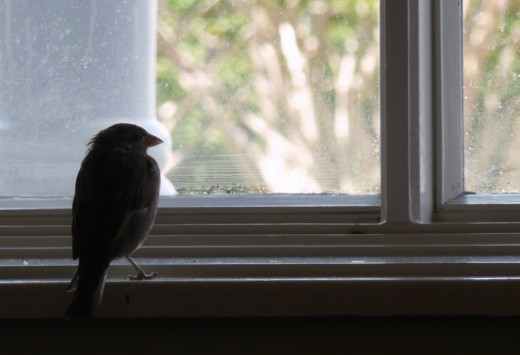 A bird in the house is not necessarily a bad omen.