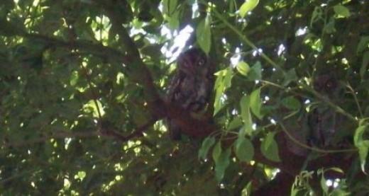 My familiar, Olly the Owl.