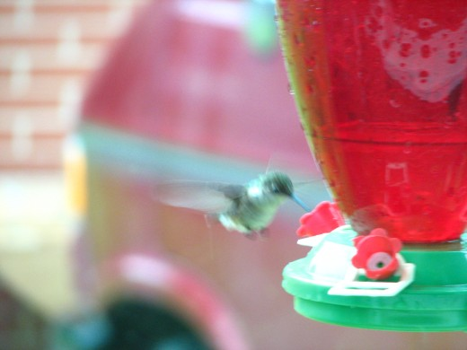 It is difficult to catch the busy  Hummingbirds by camera