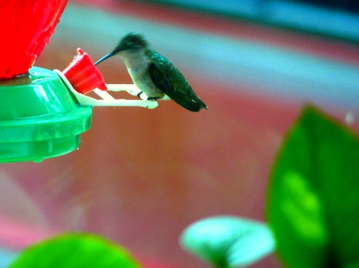 Hummingbirds seem to drink in little gulps when leery of their surroundings