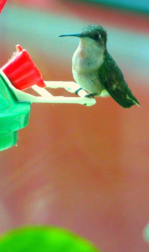The Hummingbird stops to look around between tiny gulps of the sweet nectar