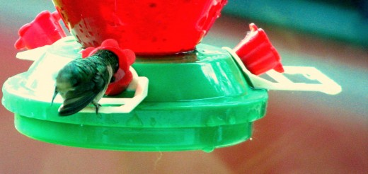 When the tiny hummingbird feels safe enough he buries his head deep in the feeder's flower