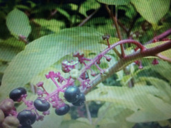 As the Pokeweed Develops Bright Colors and Berries its Toxicity Increases..