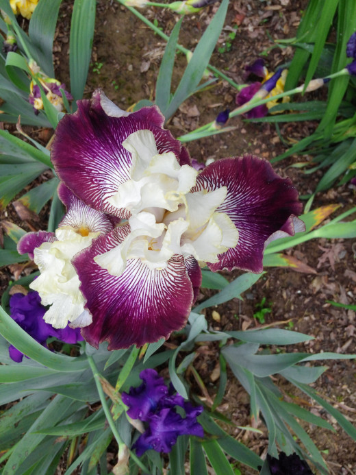Tall Bearded Iris named It's No Secret. With color this intense it's no wonder it can't keep it to itself.