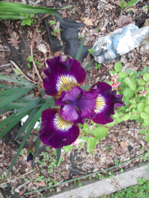An early Siberian Iris named Contrast in Color. The gnome is nearby to guard this beauty from harm.