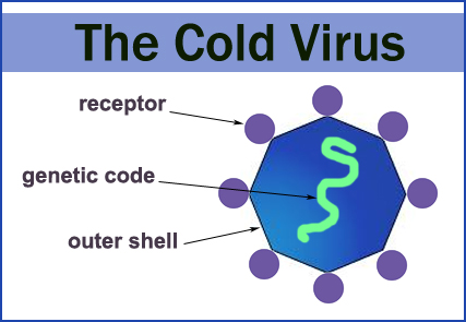 The Cold Virus