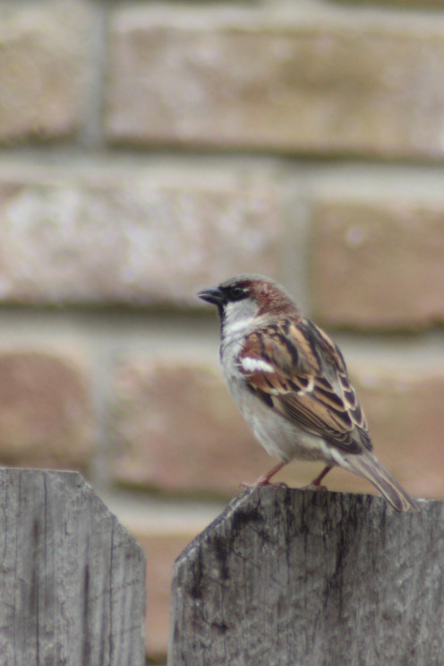 House Sparrow, Competes for cavity nesting sites