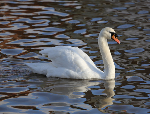 Mute Swan, Imported for their beauty