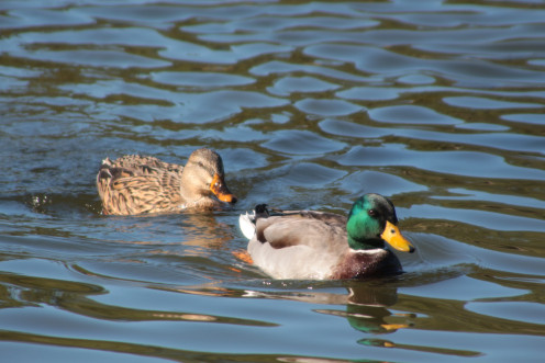 Mallard Duck, Mating with distant cousins is gene pollution