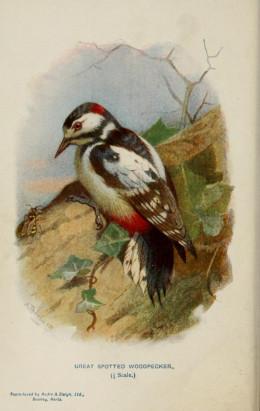 Familiar Wild Birds. Swaysland   1883