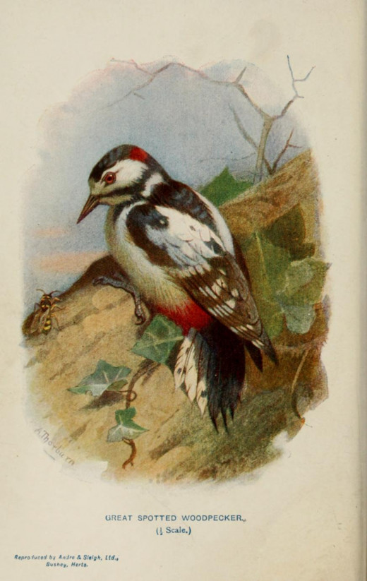 Familiar Wild Birds. Swaysland   1883