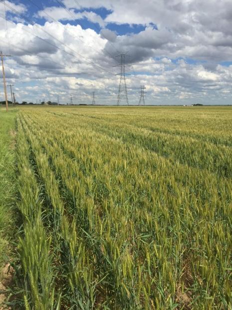 Wheatfield GMO