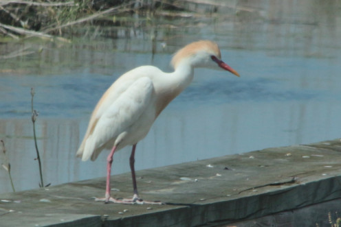 Cattle Egret, Invasive country dweller