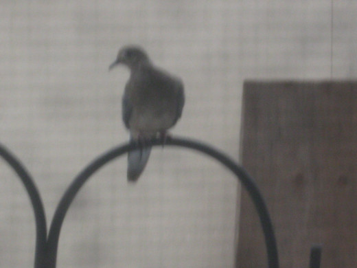 One of the Mourning Doves perched on a shepherds hook above the feeder.