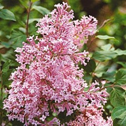 Josee Reblooming Lilac available at Gurneys.com