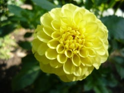 Growing Dahlia's Get to Know Your Garden Intimately part-11