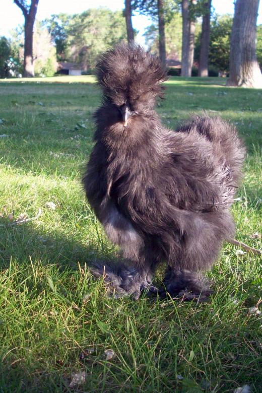 Bantam Black Silkie Hen