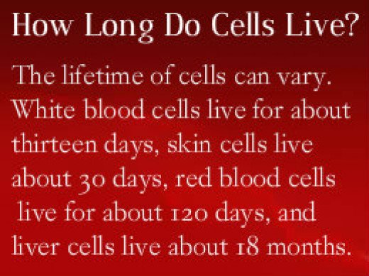 Cell Lifespan Can Very From 24 hours to 18 months.