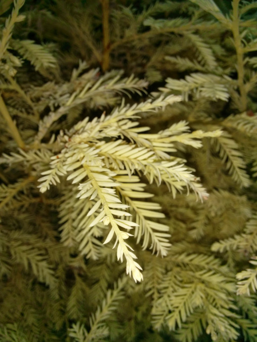 Example of a very rare Albino Redwood Tree