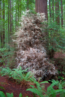 An 'albino' (mutant lacking chlorophyll) redwood in Humboldt Redwoods State Park, northern California.