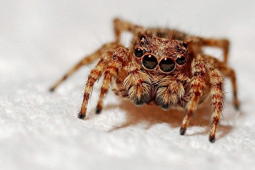 A harmless arachnid