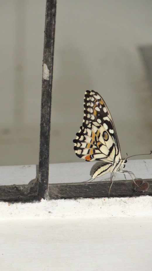 Its not Monarch.. but a photo caught by my son( Reet)